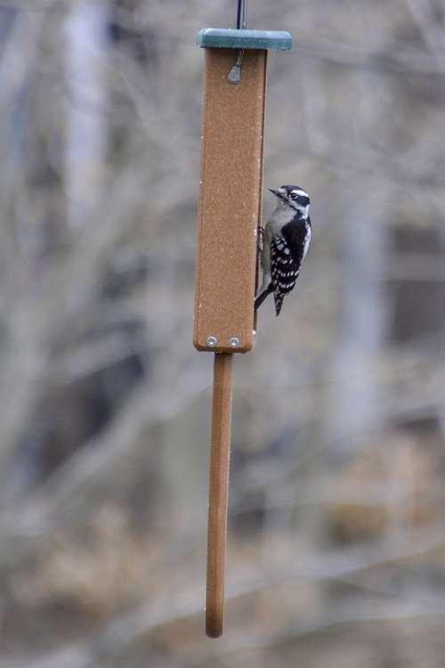 Downy Woodpecker Bird Feeder Feeding Perched