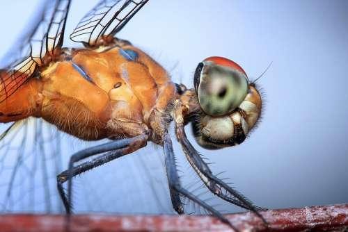 Dragonfly Insect Odonata Macro Head Orange Blue