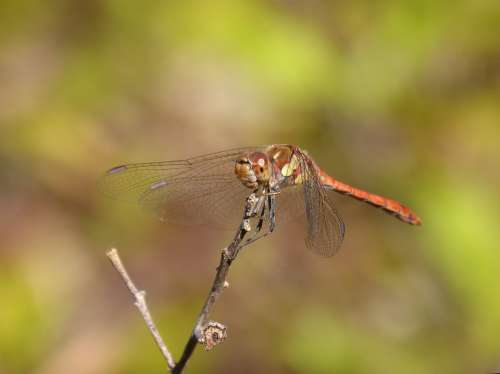 Dragonfly Sympetrum Striolatum Branch Winged Insect