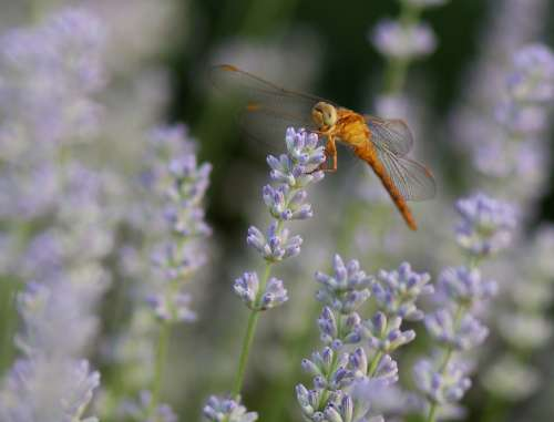 Dragonfly Lavender Insecta Nature Supplies Flora