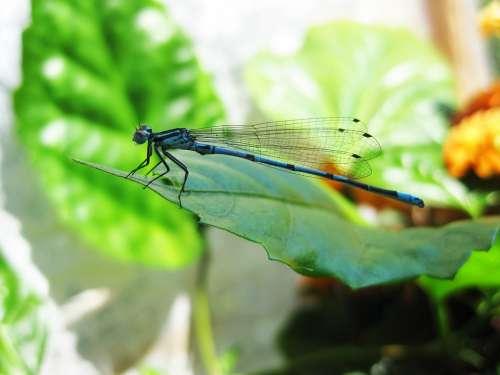 Dragonfly Blue Sheet