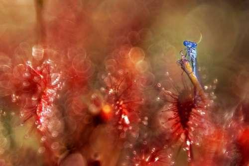 Dragonfly Sundew Red Plant Closeup Macro Animals
