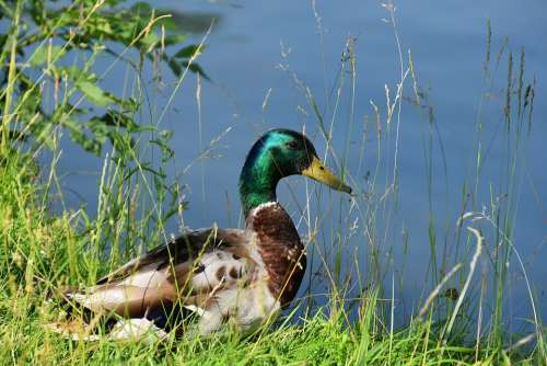 Drake Mallard Water Bird Bird Bill Duck Bird