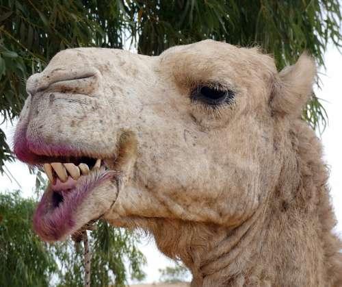 Dromedary Camelus Dromedarius Animal Domestic