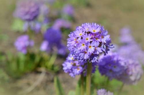 Drumstick Spring Blossom Bloom Primrose Purple