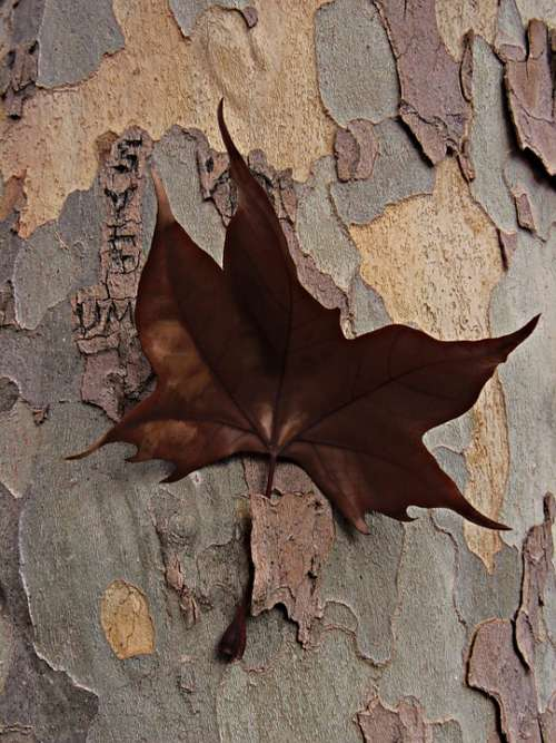 Dry Leaf Nailed Bark Brown Tree Arrested Sheet