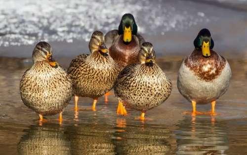 Duck Wild Mallard Animals Feathers Females Beak
