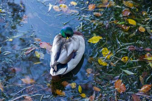 Duck Water Autumn Foliage Water Birds