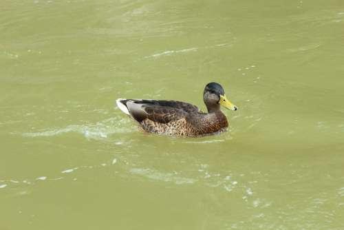 Duck Water Nature Bird Animal