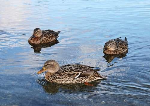 Duck Ducks Lake Lake Park Freiburg Water Brine
