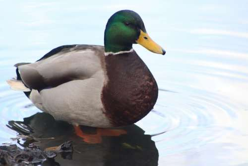 Duck Drake Mallard Plumage Water Bird Bird