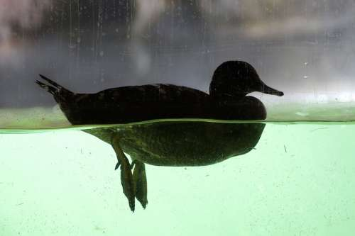 Duck Mallard Underwater Legs Water Bird Duck Bird