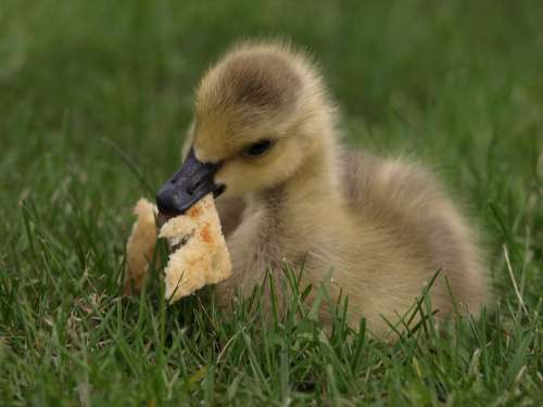 Duck Duckling Bread Eating Cute Yellow Baby Beak