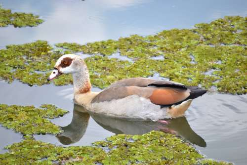 Duck Waterfowl Water Pond Wildlife Nature Bird