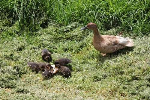 Duck Ducklings Duckling Newborn Ducky Mother Duck