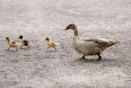 Ducks Duckling Bird Feather Wildlife Beak Wild