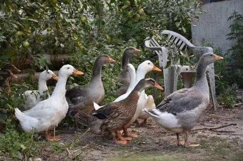 Ducks Poultry Animals Bird Drake Goose