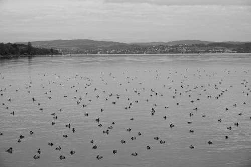 Ducks Lake Rest Black White Water Bird Water Bird
