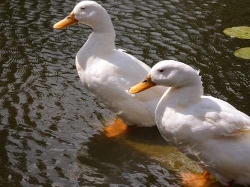 Ducks Water Animal Bird Nature Wildlife Lake