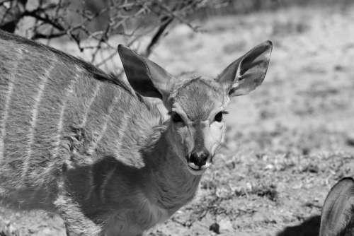 Duiker Nyala Horns Portrait Africa Nature