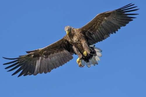 Eagle Bird Bird Of Prey Natural Attacking Bird