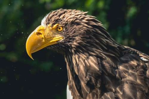 Eagle Bird Of Prey Animal Species Birds Wild