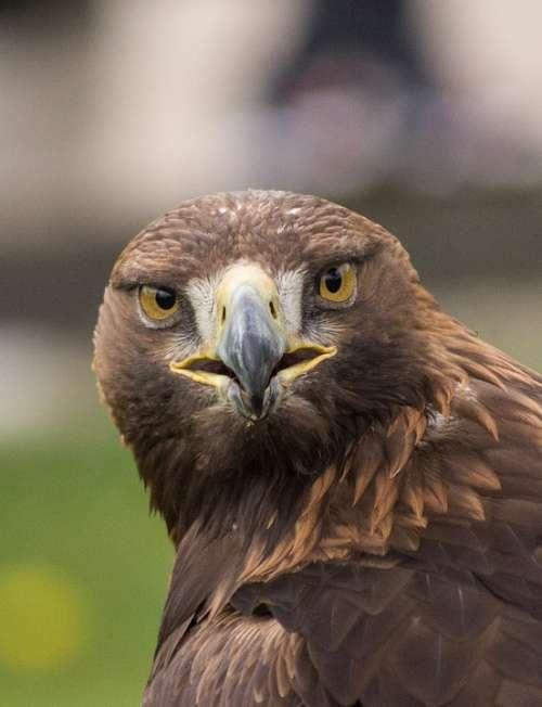 Eagle Ave Animal Bird Peak Feathers Nature Head