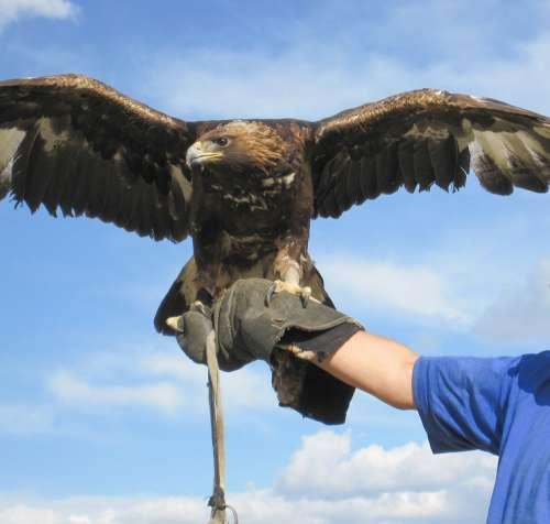 Eagle Hunting Mongolia Altai Steppe