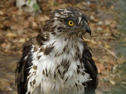 Eagle Včelojed Forest Pernis Apivorus Predator Head