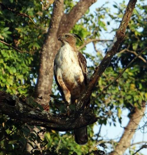 Eagle Changeable Hawk-Eagle Crested Hawk-Eagle