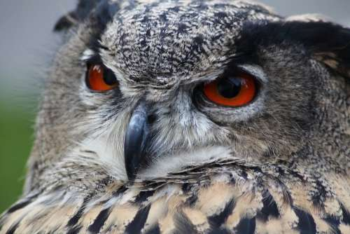 Eagle Owl Owl Bubo Bubo Bird Animal Nocturnal