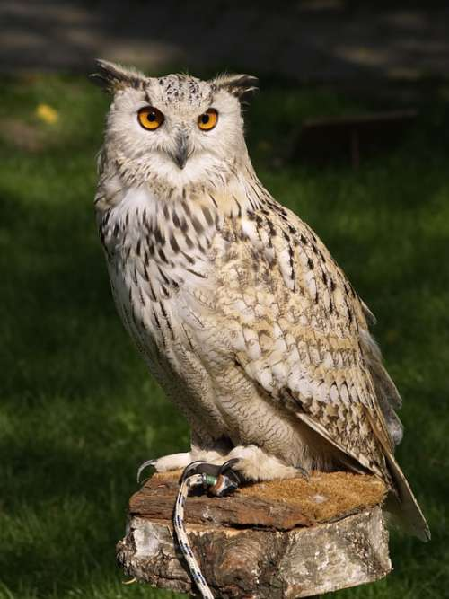 Eagle Owl Raptor Falconry Owl Bird Of Prey
