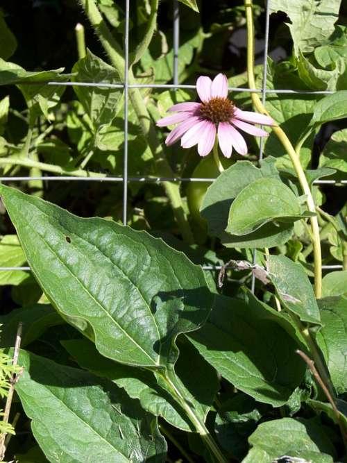 Echinacea Plant Bloom Flower Herbal Herbs