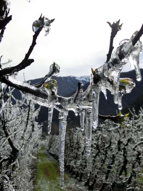 Eiswein Vreisen Vineyard Frost Winegrowing Winter