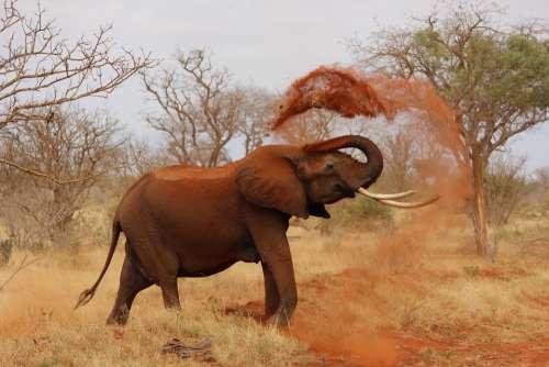 Elephant Africa African Elephant Kenya Tsavo Trunk