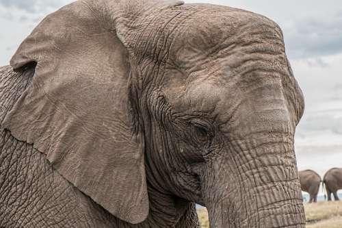 Elephant Trunk Big African Endangered Huge Gray