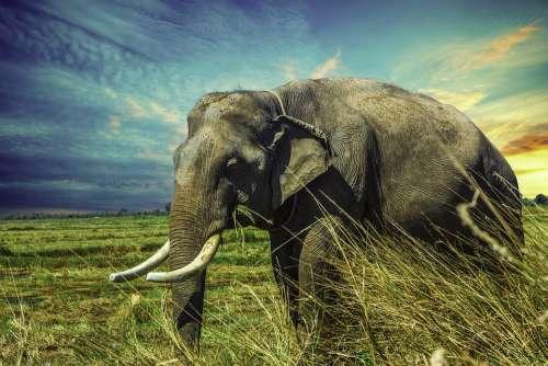 Elephant Mamma Animal Nature Surin Province