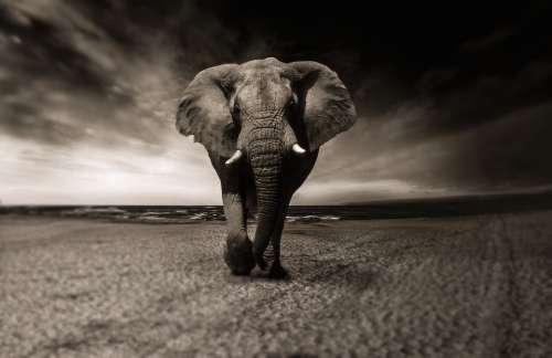 Elephant Animal Africa Safari Wild Animal Creature