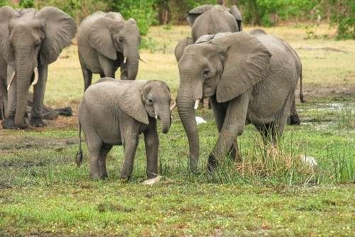 Elephant Africa African Bush Elephant Proboscis