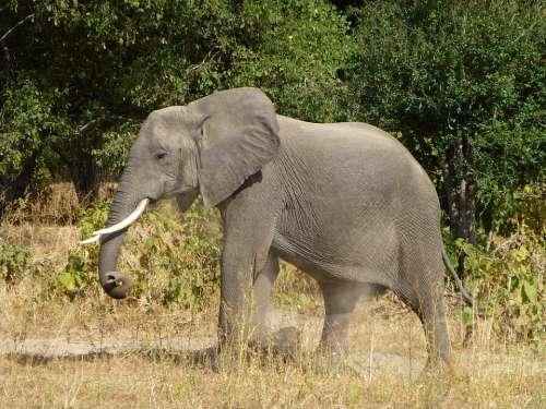 Elephant Animal Africa Mammal Safari Pachyderm