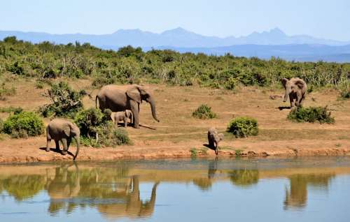 Elephant Herd Of Elephants Animals