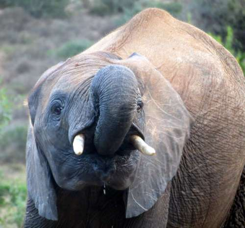 Elephant South Africa National Park Nature Safari