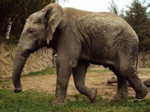 Elephant Zoo Trunk Grey Animals