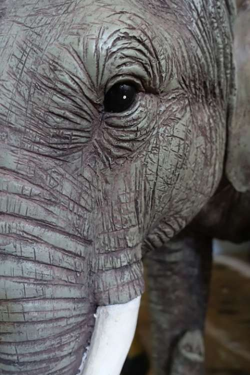 Elephant Eye Head Face Wrinkled Wildlife Animal