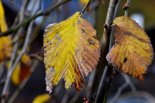 Elm Leaf Leaves Autumn Macro