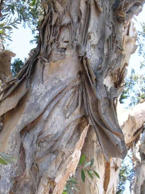 Eucalyptus Tree Bark Natural Wood