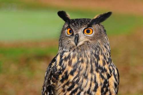 European Eagle Owl Owl Bird Of Prey Sharp Look