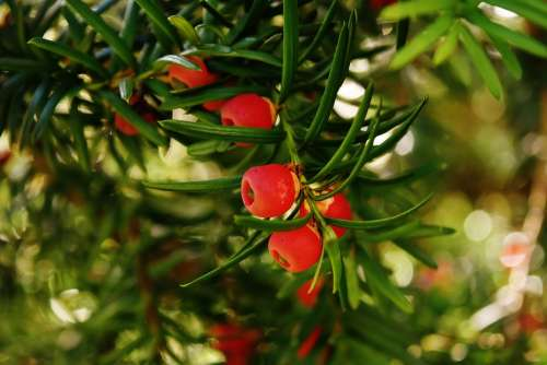 European Yew Yew Needle Branch Taxus Baccata