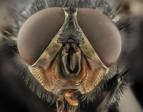 Eyes Insect Compound Eyes Macro Blue Bottle Fly
