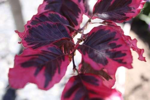Fagus Tricolor Beech Fagus Sylvatica Red Leaf